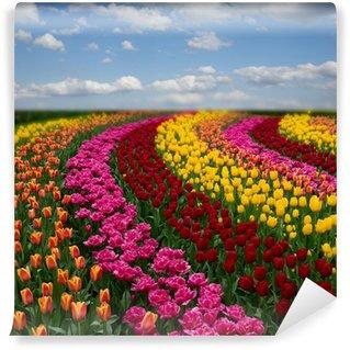 Vinylová Fototapeta Holandské barevné tulipány pole v slunečný den