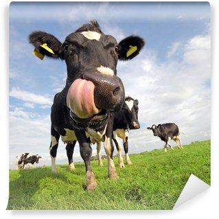 Vinylová Fototapeta Holstein kráva s obrovským jazykem