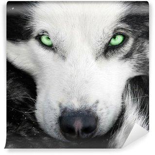 Vinylová Fototapeta Husky pes se zelenýma očima