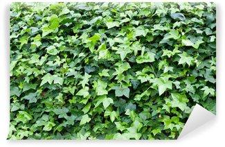 Vinylová Fototapeta Ivy Plant