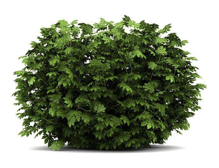 Fototapeta Vinylowa Japoński aralia bush na białym tle - Rośliny