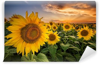 Vinylová Fototapeta Krásný západ slunce nad slunečnicové pole