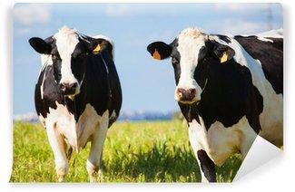 Vinylová Fototapeta Krávy v přírodě na jaře