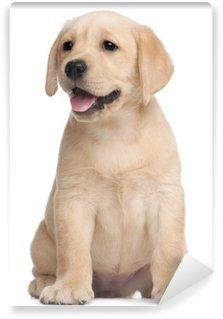 Fototapeta Winylowa Labrador puppy, 7 tygodni, z przodu białe tło