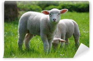 Vinylová Fototapeta Lamm (Schaf) auf Weide