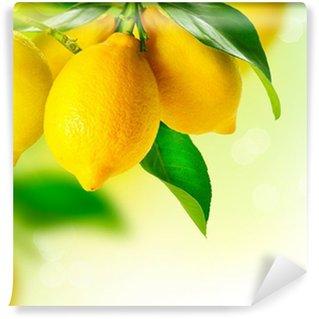 Vinylová Fototapeta Lemon. Zralé citrony visí na citroníku. Rostoucí Lemon