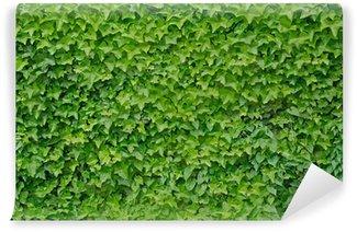 Vinylová Fototapeta Lezení břečťan rostlin Hedera helix pozadí