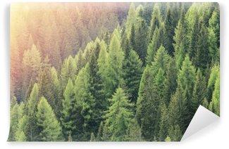 Vinylová Fototapeta Magie lesní osvětlena slunečním světlem. Jehličnatý les region.