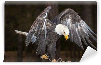Vinylová Fototapeta Majestic Bald Eagle