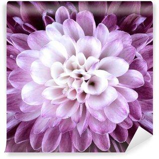 Vinylová Fototapeta Makro zblízka na Fialová Bílá květ chryzantémy