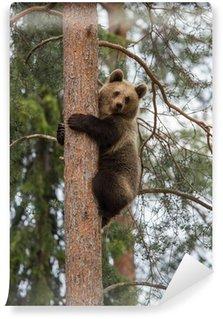 Vinylová Fototapeta Medvěd hnědý lezení strom v lese Tiaga