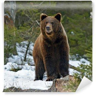 Vinylová Fototapeta Medvěd hnědý v lese v zimě