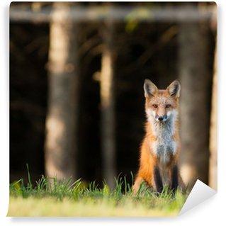 Vinylová Fototapeta Mladá liška (Vulpes vulpes) dohlédněte na kameru