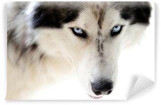 Vinylová Fototapeta Modré oči husky psa na hladké bílé