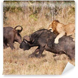 Vinylová Fototapeta Muž lev útok velký buvolí býk