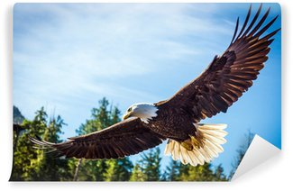Vinylová Fototapeta North American Bald Eagle v polovině letu na lovu