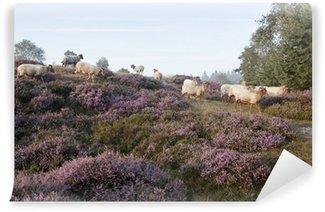 Vinylová Fototapeta Ovce na fialové kvetoucí vřesu
