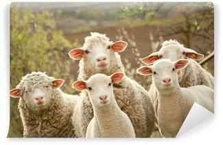 Vinylová Fototapeta Ovce na pastvě