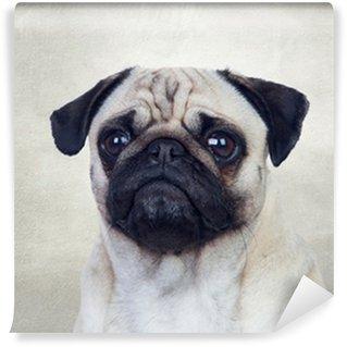 Vinylová Fototapeta Pěkný mops pes s bílými vlasy