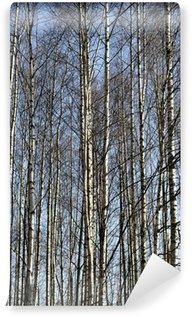 Fototapeta Vinylowa Pnie drzew brzozy w Spring Grove