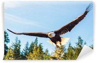 Fototapeta Winylowa Północ Bielik amerykański w połowie lotu, polowania wzdłuż rzeki
