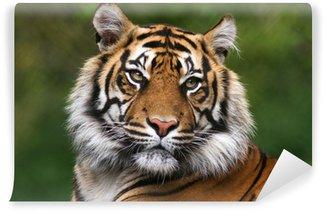 Vinylová Fototapeta Portrét bengálského tygra.