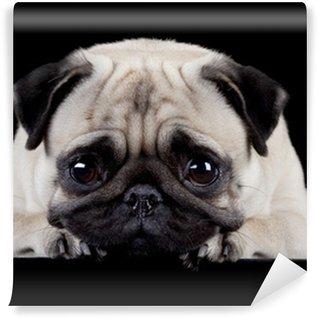 Vinylová Fototapeta Pug na černém pozadí