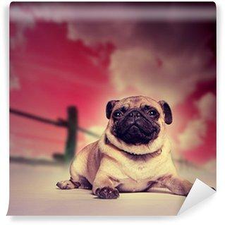 Vinylová Fototapeta Pug pes proti studio pozadí západu slunce