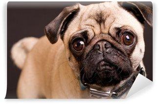 Vinylová Fototapeta Pug pes tvář