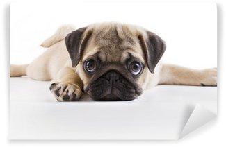 Vinylová Fototapeta Pug Puppy