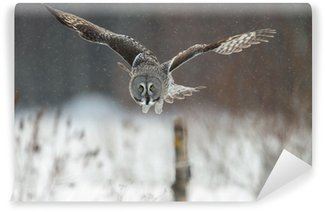 Vinylová Fototapeta Puštík vousatý (Strix nebulosa) lov na padající sníh
