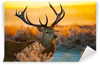 Vinylová Fototapeta Red Deer v ranní Slunce.