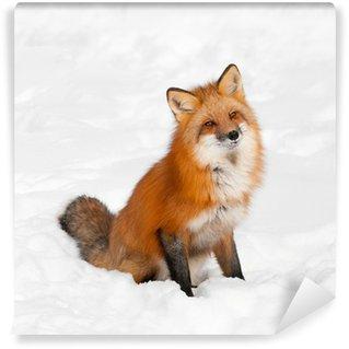 Vinylová Fototapeta Red Fox (Vulpes vulpes), sedí ve sněhu s nakloněnou hlavy