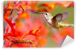 Vinylová Fototapeta Rufous kolibřík krmení na Crocosmia Květiny