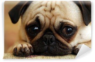 Vinylová Fototapeta Sad Pug Puppy