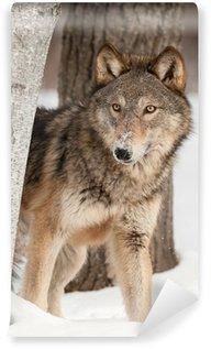Vinylová Fototapeta Šedý vlk (Canis lupus) nakoukne bříza