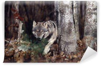 Vinylová Fototapeta Šedý vlk v lese