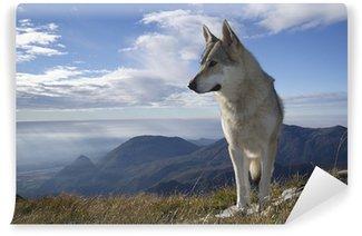 Vinylová Fototapeta Šedý vlk vytí
