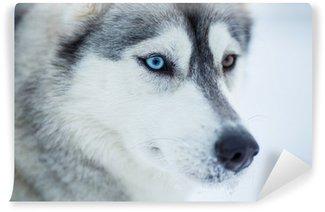 Vinylová Fototapeta Sibiřský husky dog detailní portrét