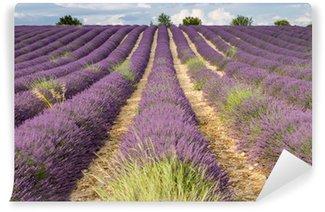 Vinylová Fototapeta Silný vítr na levandule v plném květu, Provence