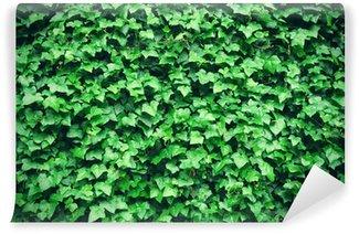 Vinylová Fototapeta Silný zelený břečťan listy na pozadí