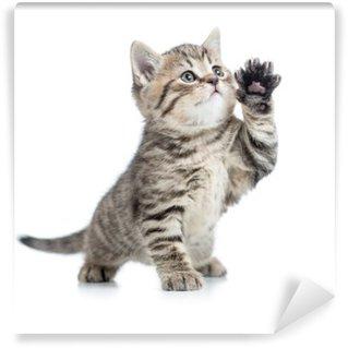 Vinylová Fototapeta Skotský mourovatá kočička dává tlapku a vzhlédl