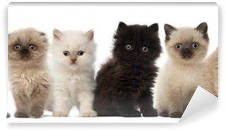 Vinylová Fototapeta Skupina Britská krátkosrstá a Britská dlouhosrstá koťata