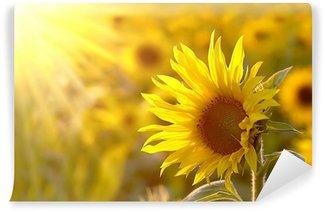 Vinylová Fototapeta Slunečnice na louce ve světle zapadajícího slunce