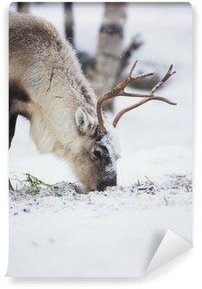 Vinylová Fototapeta Sobí žerou trávu v zimním lese