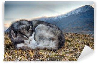 Vinylová Fototapeta Spí sibiřský husky v horách