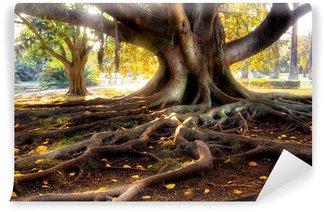 Vinylová Fototapeta Stoletý strom s velkým kmenem a velkými kořeny nad zemí
