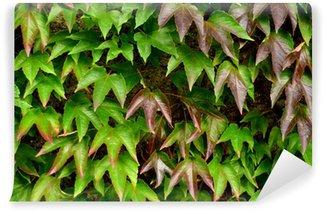 Vinylová Fototapeta Textury na pozadí Ivy listy proti zdi zahrady