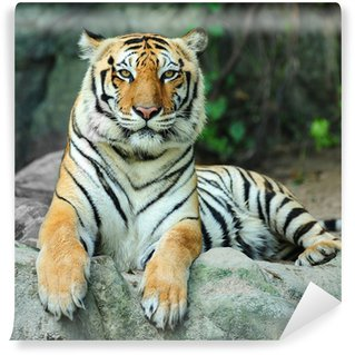 Vinylová Fototapeta Tygr na skále