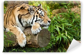 Vinylová Fototapeta Tygr ussurijský (Panthera tigris altaica)